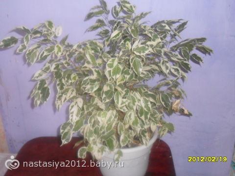 Цветок с зелено белыми листьями