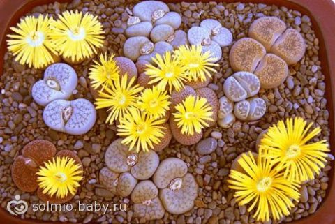 Литопс — живые камни