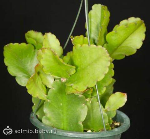 Рипсалис фото виды и способы ухода за кактусом в